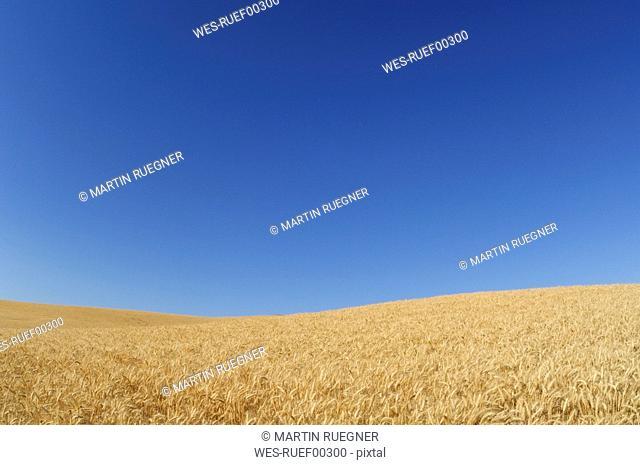 USA, Palouse, Whitman County, Washington State, Wheat field