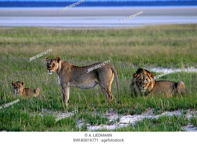 lion (Panthera leo), family, Namibia, Etoscha NP