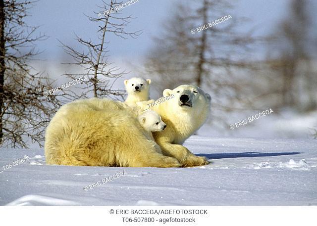 Polar bear with two three month old cubs (Ursus maritimus), Wapusk National Park. Churchill, Manitoba, Canada