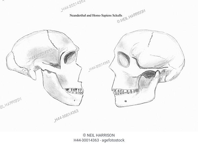 Pencil sketches of Neanderthal (left) and Modern human (right) skulls