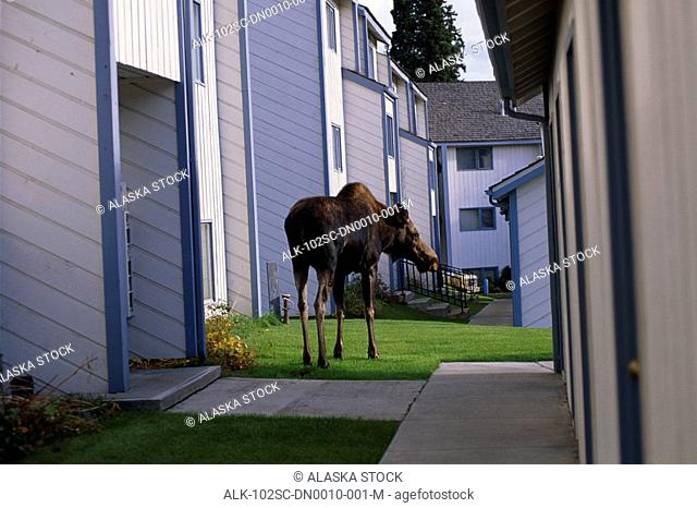 Cow Moose walking between apartment buildings in Anchorage Southcentral Alaska Summer