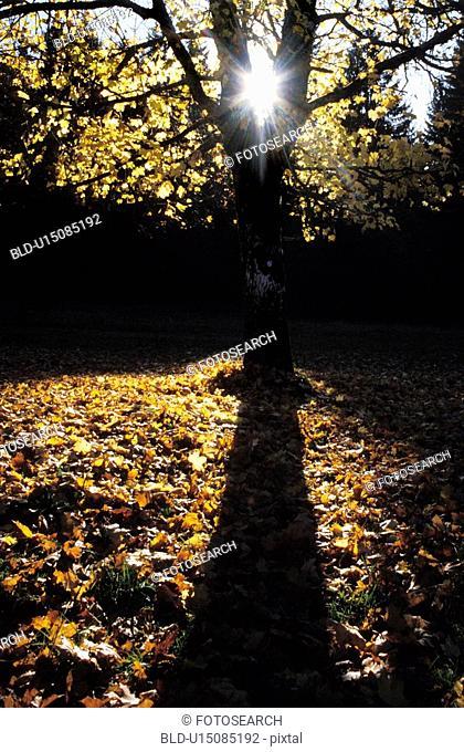 strahl, austria, autumn, back light, calf, colored, dornbirn