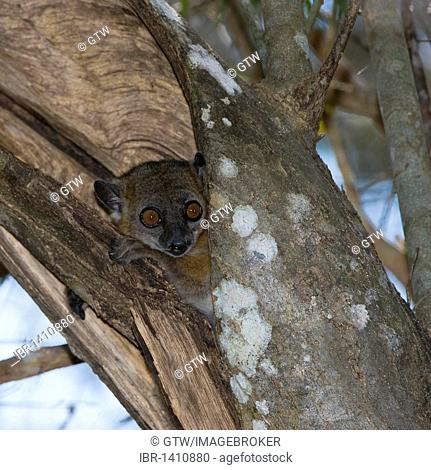 Red-tailed sportive Lemur (Lepilemur ruficaudatus), Kirindy Forest, Morondova, Endemic, Madagascar, Africa