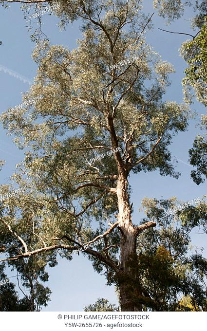 Crown of a mature native eucalypt tree at Bright, northeast Victoria, Australia