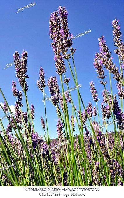 Provence, Luberon, lavander