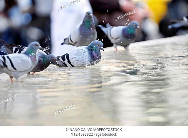 Pigeons in Plaza Cataluna, Barcelona, Spain