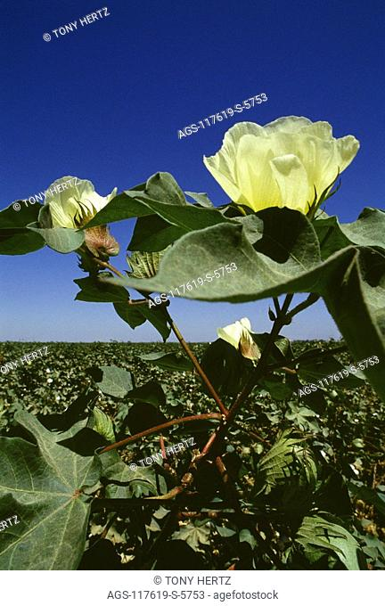 Agriculture - Close-up of cotton bloom / Kern County, California, USA