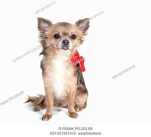 chihuahua sitting dog with red ribbon