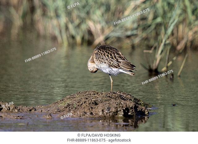 Juvenile Ruff preening, Deepdale Marsh Norfolk late summer