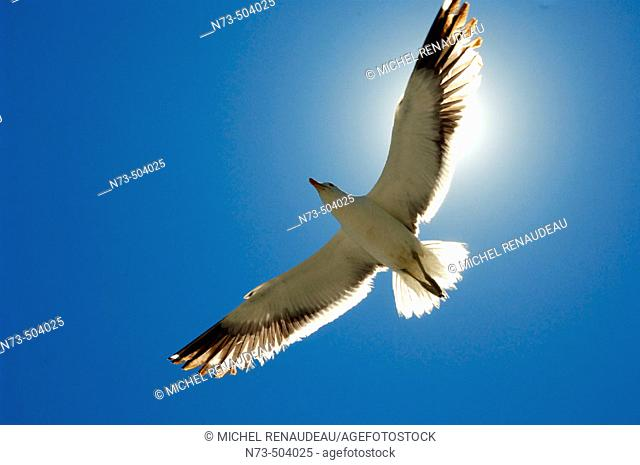 Seagull. Walvis Bay. Namibia