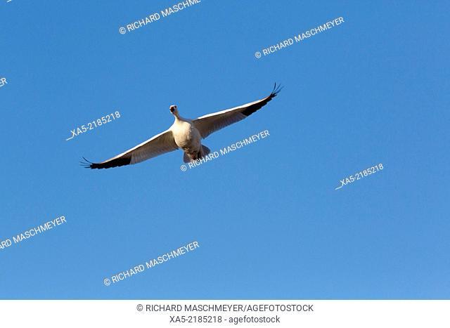 Lesser Snow Goose (Chen caerulescens caerulescens), Bosque del Apache National Wildlife Refuge, New Mexico, USA