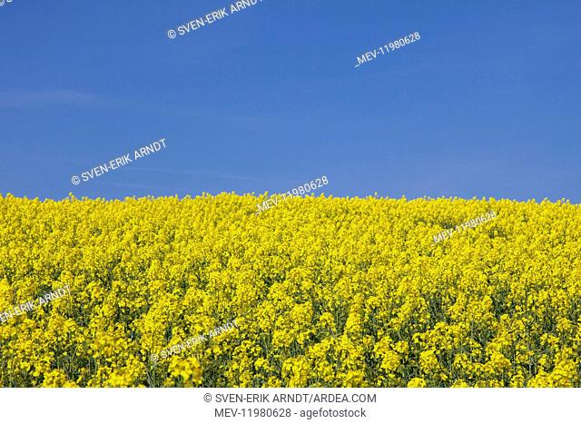 Rape field in full flower Germany