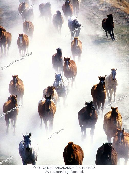 Galloping horses at ranch. Wyoming. USA