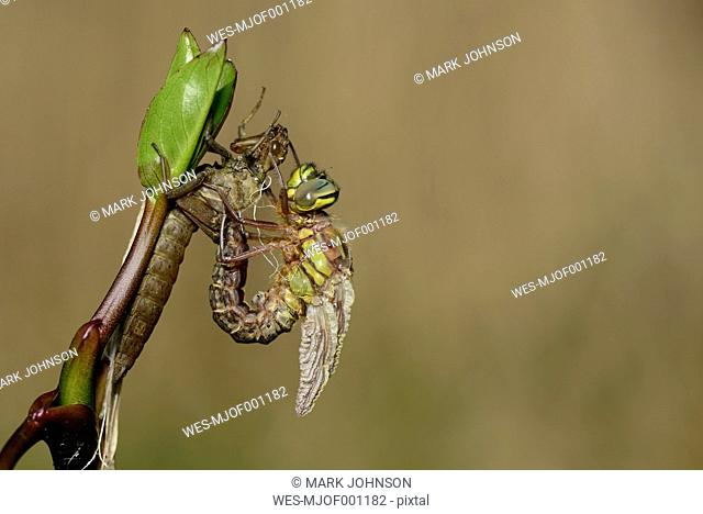 Hairy dragonfly with pupa