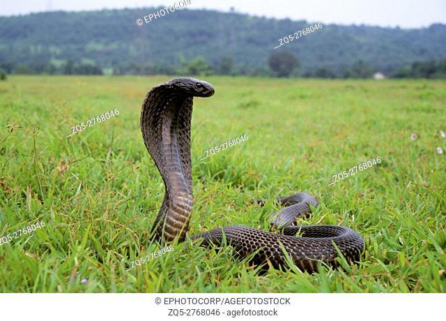 Indian Cobra, Naja naja, Maharashtra, India