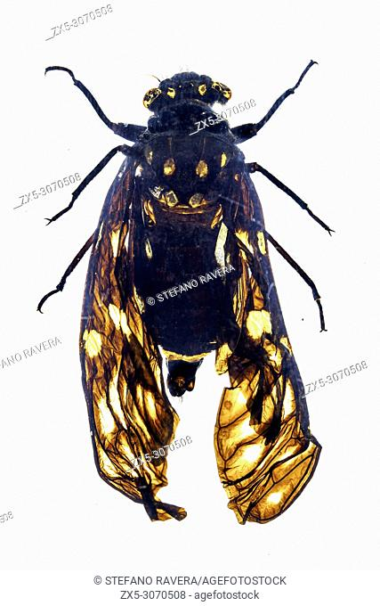 Spotted Black Cicada in resin