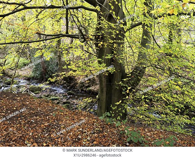 Autumn Tree by Harden Beck in Goitstock Wood Cullingworth West Yorkshire England