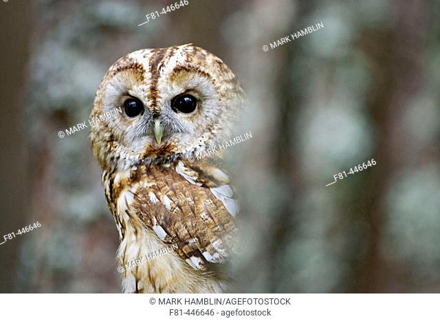 Tawny Owl (Strix aluco) adult in pine forest. Scotland