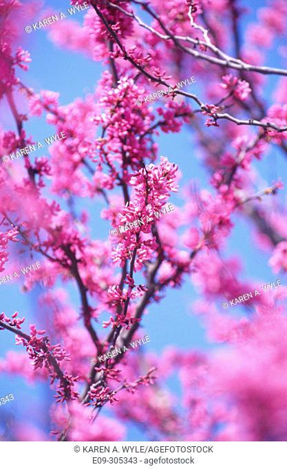 Redbud (Cercis siliquastrum)