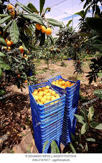 A basket with persimmons in a plantation