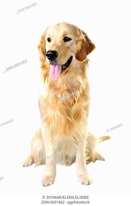 Golden retriever pet dog sitting isolated on white background