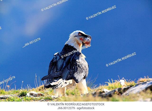 Bearded vulture (Gypaetus barbatus) gobbling a piece of food in the Ordesa y Monte Perdido national park. Huesca