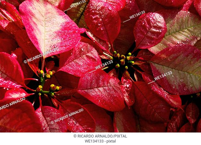 Pink variegated poinsettas at RF Orchids, Miami