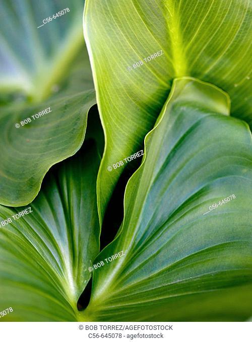Close-up of philadendra leaves