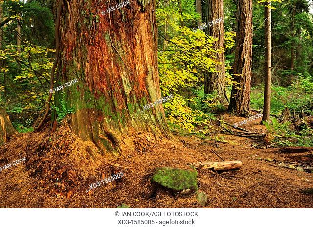Western Redcedar, Thuja plicata, trunk in autumn, Vancouver, British Columbia, Canada