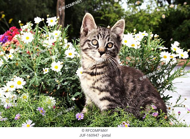 tabby kitten - sitting between flowers