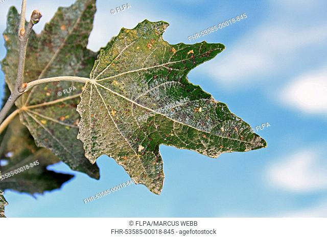 White Poplar (Populus alba) close-up of leaf, growing in hedgerow, Mendlesham, Suffolk, England, October