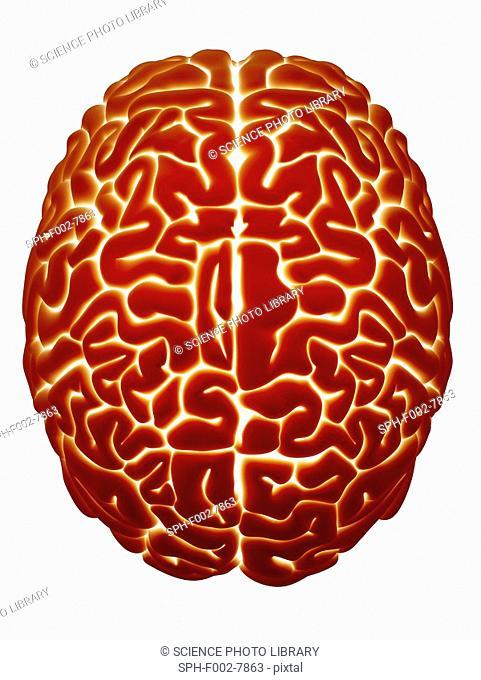 Human brain, computer artwork. Top view