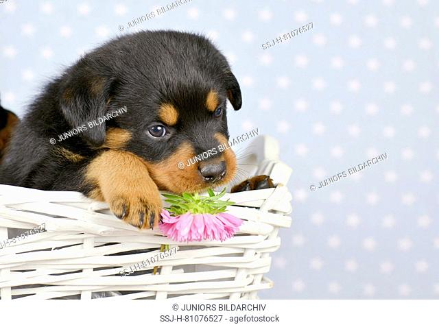 Rottweiler. A puppy (5 weeks old) in a white basket. Studio picture. Germany