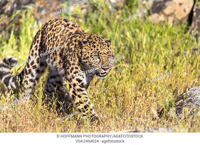 Alert Amur leopard (Panthera pardus orientalis) stalking, captive, California, USA