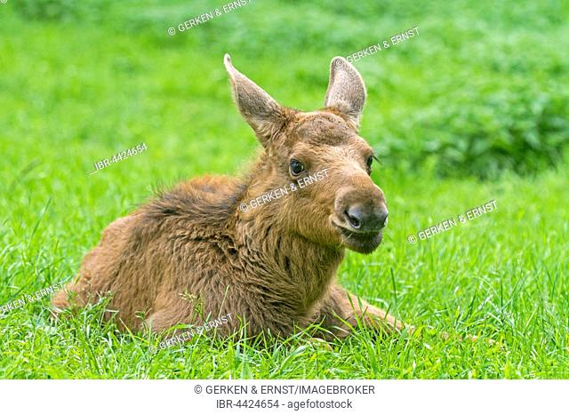 Young elk (Alces alces) lying in the grass, Sweden