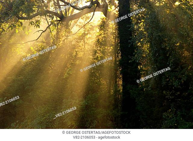 Sunrays through oak, Great Brook Farm State Park, Massachusetts