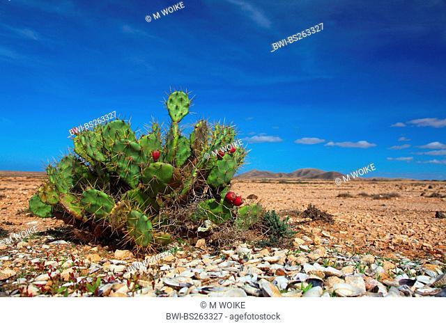 Erect Prickly Pear Opuntia dillenii, fruiting, Canary Islands, Fuerteventura