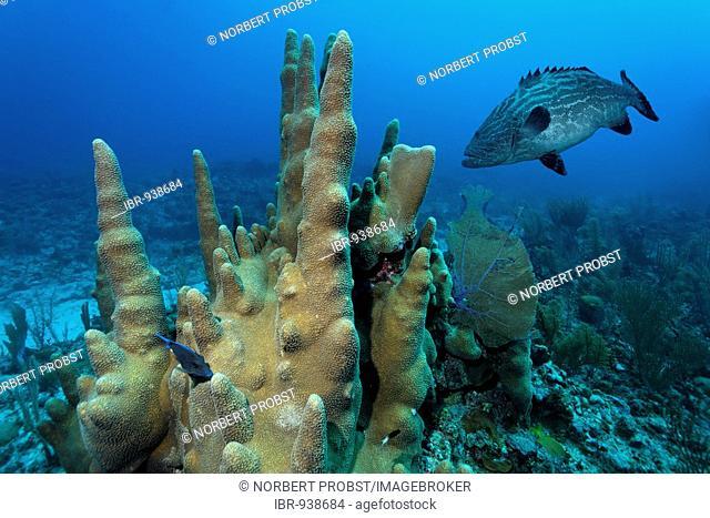 Pillar corals (Dendrogyra cylindricus) and Black Grouper fish (Mycteroperca bonaci), barrier reef, San Pedro, Ambergris Cay Island, Belize, Central America