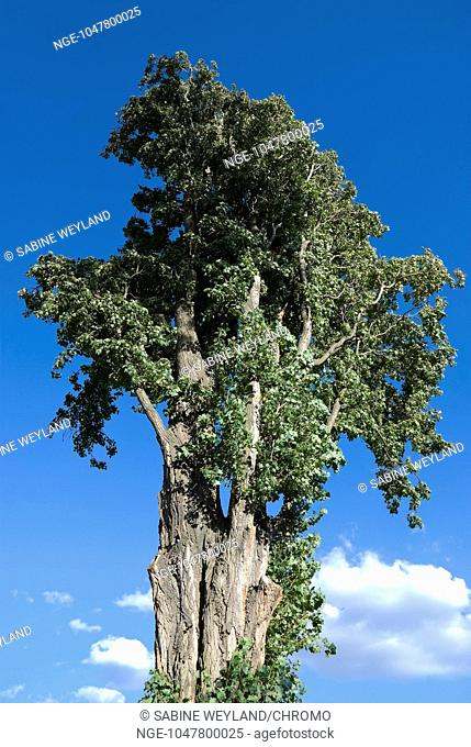 big treetop of a poplar tree in front of blue sky taken out of frog perspective
