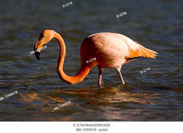 Greater Flamingo or American Flamingo (Phoenicopterus ruber), Floriana Island, Galapagos Islands, UNESCO World Heritage Site, Ecuador