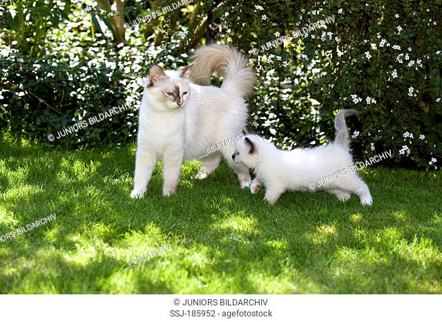 Sacred Birman. Mother (Seal-tortie-point) with kitten (seal-poit, 6 weeks old) on a lawn