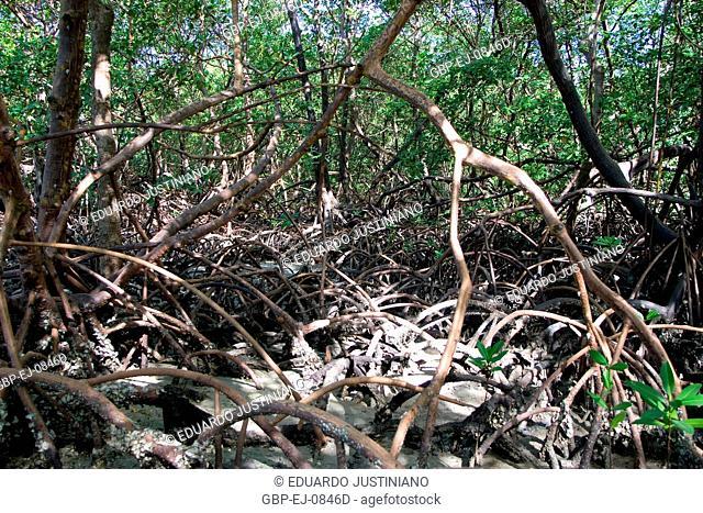 Swamp-red (Rhizophora mangle), Growth of Mangroves, Brazil