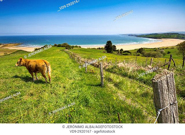 Cow grazing on a meadow of fresh green grass. Oyambre beach, Comillas. Cantabrian Sea. Cantabria Spain. Europe