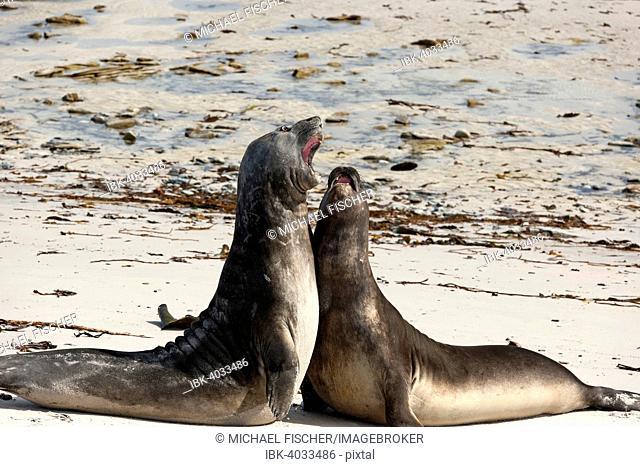 Southern Elephant Seal (Mirounga leonina), juveniles at play, Carcass Island, Falkland Islands
