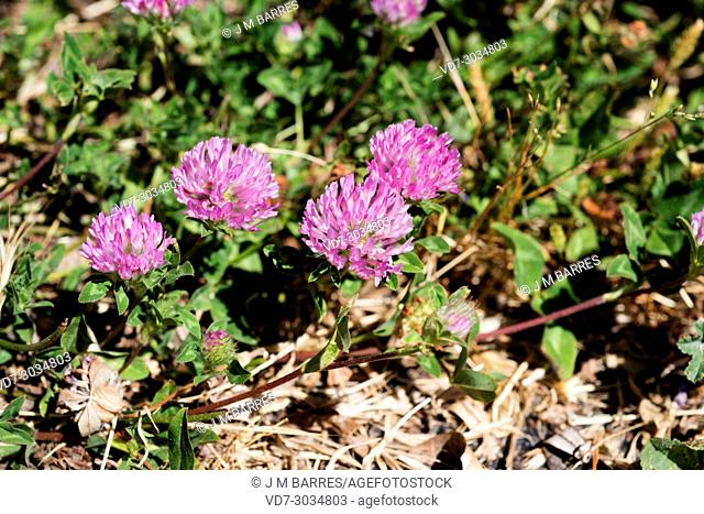 Red clover (Trifolium pratense) is a perennial herb native to Europe, north Africa and western Asia. This photo was taken in Huesca province, Aragon, Spain