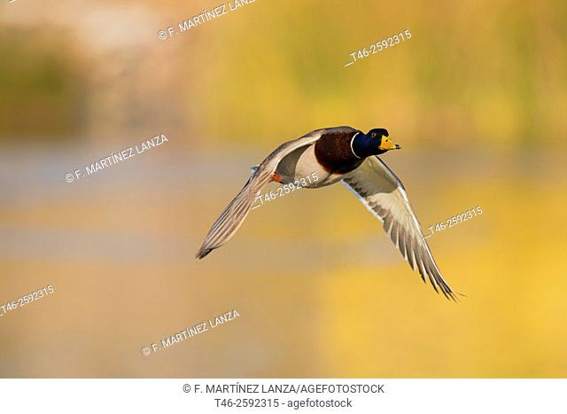 Mallard or Mallard (Anas platyrhynchos). Parque Regional del Sureste. Madrid province. Spain
