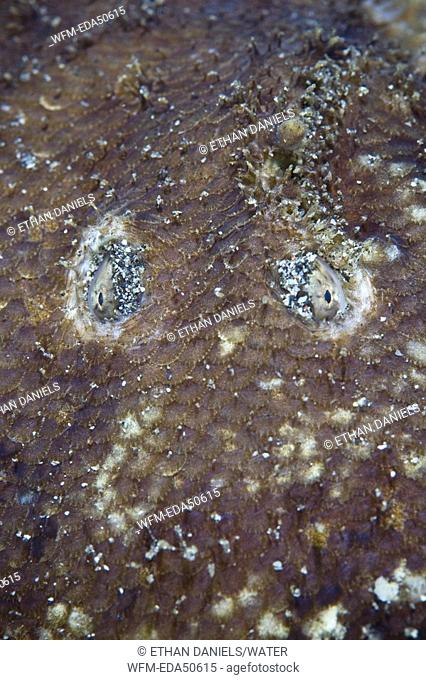 Eyes of Carpet Sole, Liachirus melanospilus, Sulawesi, Lembeh Strait, Indonesia