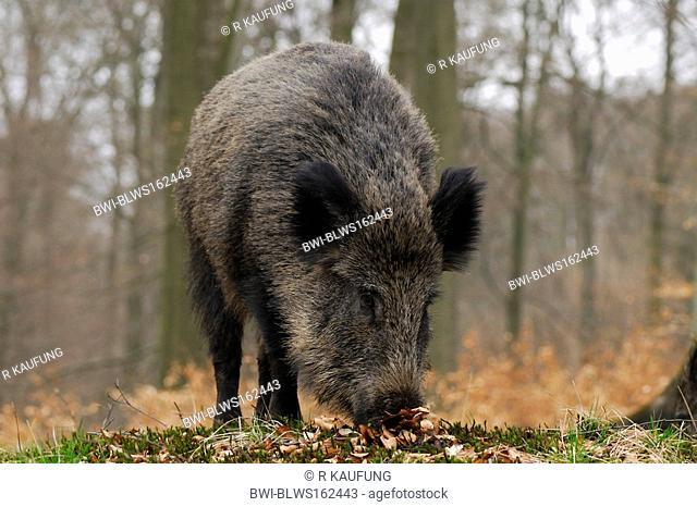 wild boar, pig, wild boar Sus scrofa, female searchung for food, Germany, North Rhine-Westphalia
