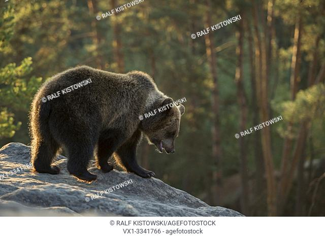 European Brown Bear / Europaeischer Braunbaer ( Ursus arctos ), stands on a rock in the mountains, watching down, exploring its surrounding