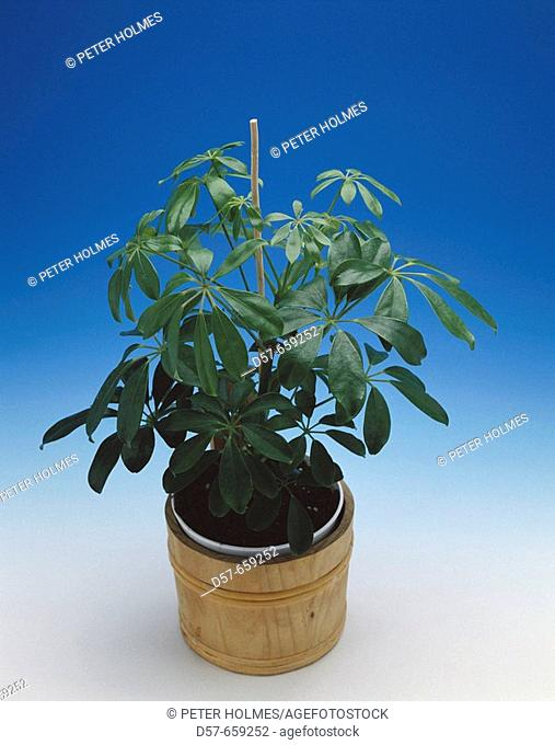 Umbrella plant (Schefflera actinophylla)